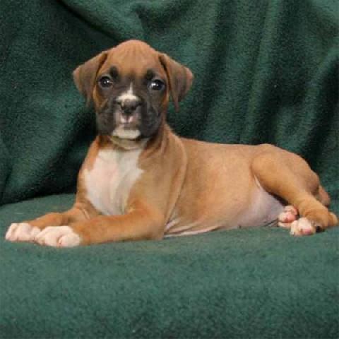 Cute Boxer Puppies For Free Adoption Boston Ma Getbostonpetscom