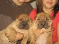 Chinese Shar-pei puppies AKC -3 females